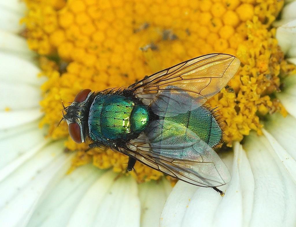 La mouche verte - Quel est cet animal ?