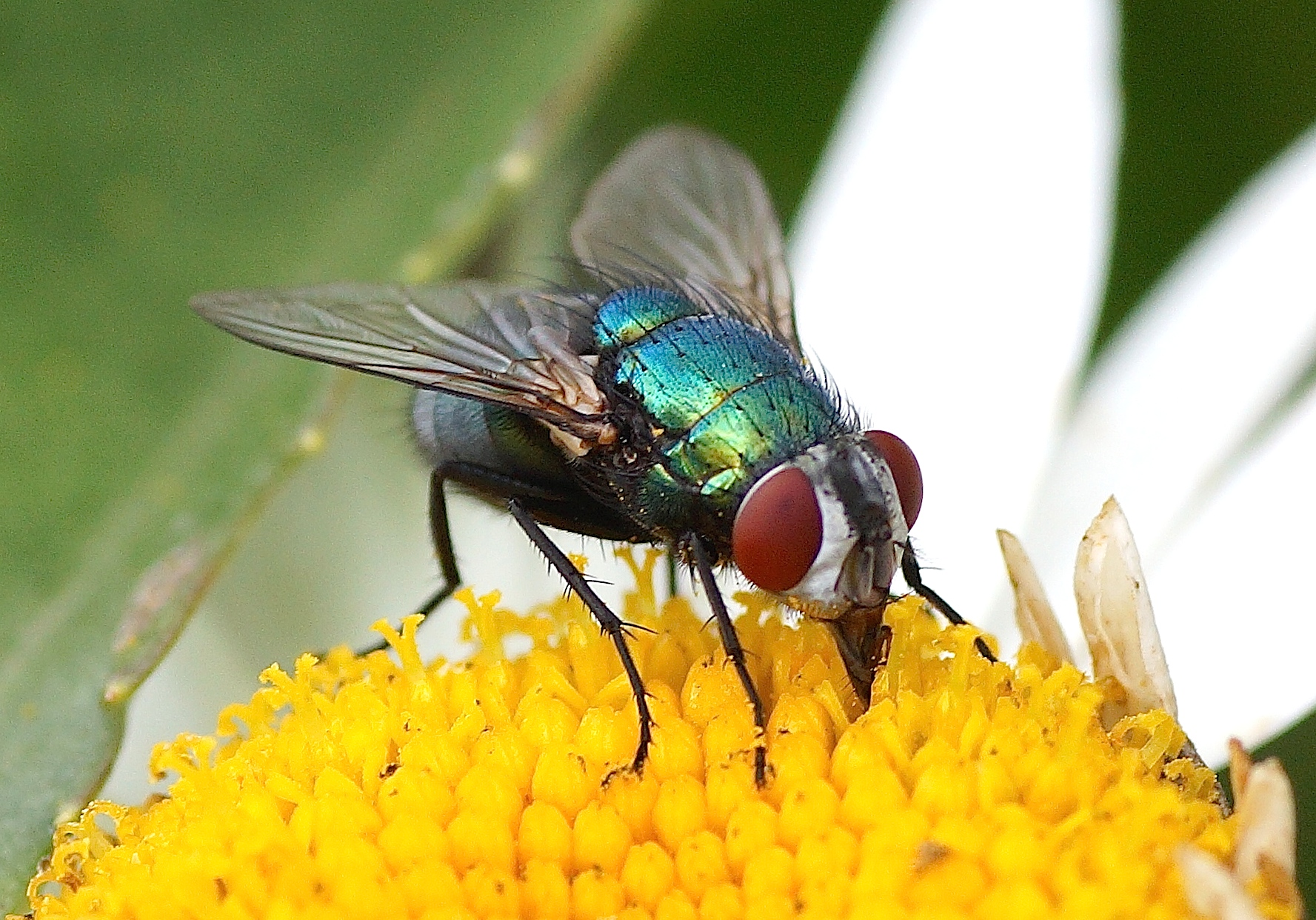 Image gallery mouche verte - Comment tuer des mouches ...
