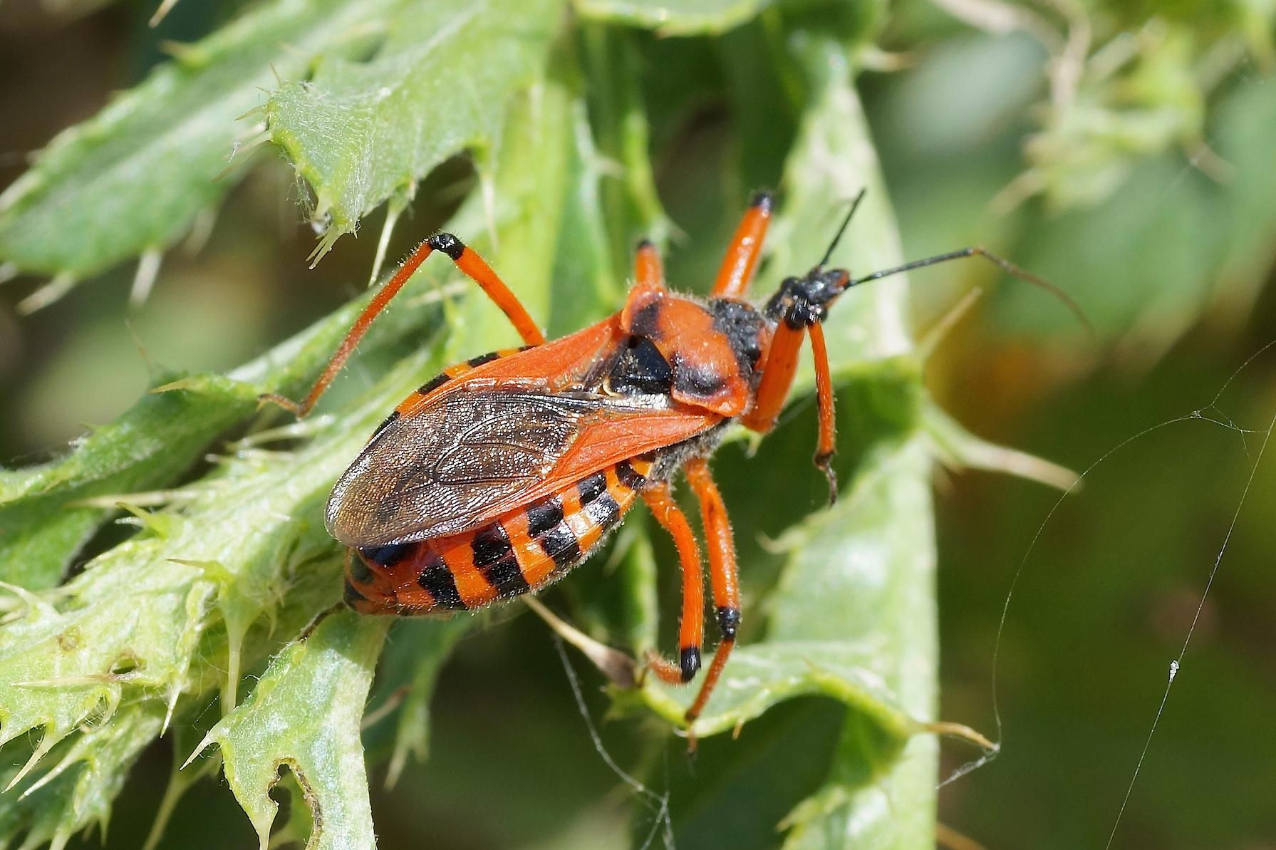 Le r duve irascible quel est cet animal - Insecte rouge et noir ...