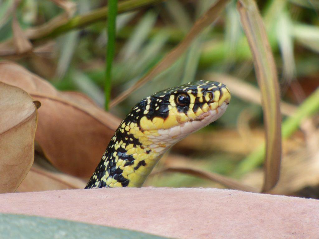 Détail de la tête de la couleuvre verte et jaune