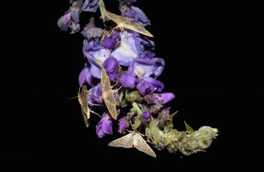 pyrales du houblon sur une fleur de glycine