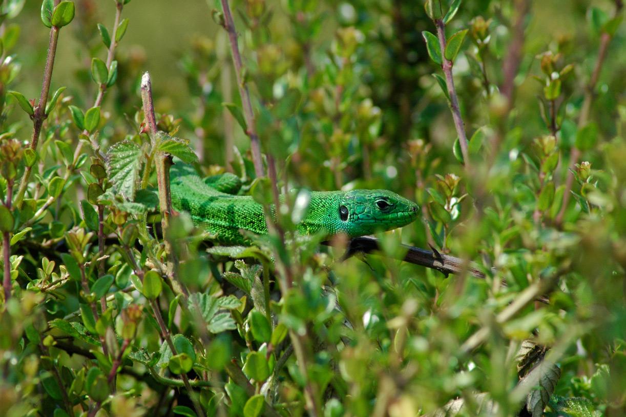 grosse queue verte