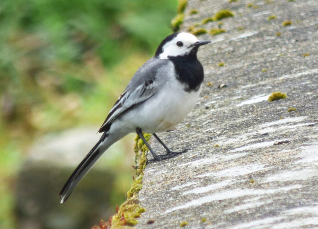 Quel est cet animal animaux de france et aide la for Oiseau gris et blanc