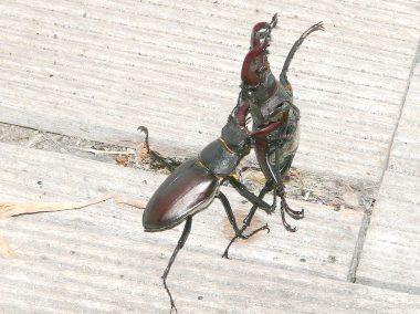combat de mâles de Lucanus cervus