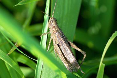 Chorthippus dorsatus