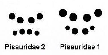 pisauridae-copie